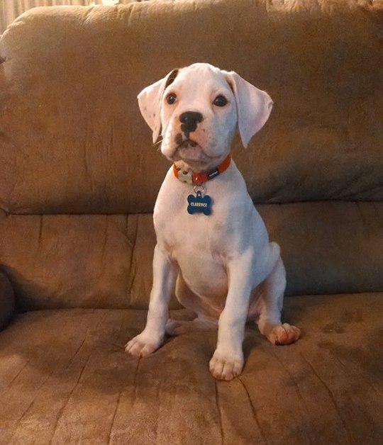 Green Acres Boxer Rescue of Wisconsin   Buying a Puppy